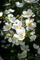 Rock Rose Cistus salvifolious flowers in May.