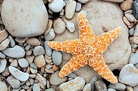 Starfish washed up on a pebble beach. Starfish, also known as sea stars, are a type of marine invertebrate. They have typical radial symmetry, with fi...