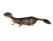 Stoat Mustela erminea, artwork. This is a small carnivorous mammal, found in most of the northern temperate, subarctic and Arctic regions. The tail ti...