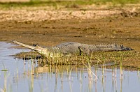 Gharial Gavialis gangeticus in a marshy area on the edge of a body of water. This crocodile_like reptile has a distinctive long narrow snout adapted t...