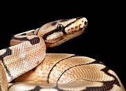 Pastel variant royal python. Close_up of the head of a pastel royal python Python regius  showing the sensory pits upper centre above its mouth. These...