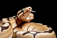 Pastel variant royal python Python regius using its tongue to detect odours in the air.