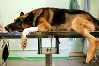 Alsatian on an examination table. This dog is being prepared for surgery to treat cancer of the spleen. A bandage around one of the dog´s front legs i...