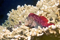 Leopard blenny Exallias brevis perched on fire coral. This fish inhabits coral reefs in the tropical Indo_Pacific region, from east Africa to the Hawa...