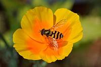 Hoverfly onCalifornia Poppy, Syrphidae, Eschscholzia californica, Schwebfliege auf Kalifornischem Mohn