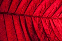 Poinsettia leaf, close-up (thumbnail)