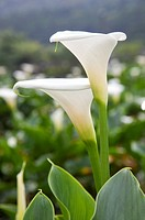Calla Lily, Mt.Yang-ming, Yang-ming Mountain, Yangmingshan, Taipei, Taiwan, Asia (thumbnail)