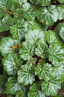 Saxifraga stolonifera, Herb Plant, Guangxi Botanical Garden of Medicinal Plants