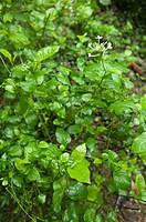 Plumbago zeylanica, Herb Plant, Guangxi Botanical Garden of Medicinal Plants