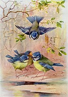 A family of Blue Tits  After a watercolour by Marie Nestler-Laux from Die Gartenlaube, published 1905