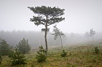 Lithuania, Smiltyne, scenery, pines, fog,