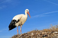 White Stork Ciconia ciconia Order Ciconiiformes Family Ciconiidae.