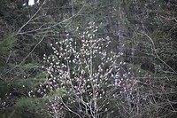 Brambling  Fringilla montifringilla  Order: Passeriformes  Family:Fringillidae.