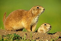 Blacktail Prairie Dog Cynomys ludovicianus Wyoming - USA - Social animals that live in 'towns' and post sentinels to warn of impending predators - Liv...