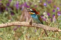 European Bee-eater  Merops apiaster  Order: Coraciiformes  Family: Meropidae.