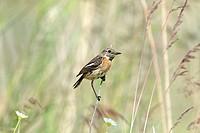 European Stonechat  Female  Saxicola rubicola  Order:Passeriformes  Family: Muscicapidae.