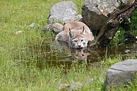 Eurasian lynx  Lynx lynx  Order: Carnivora Family: Felidae.