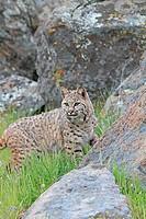 Bobcat  Lynx rufus  Order: Carnivora  Family: Felidae.