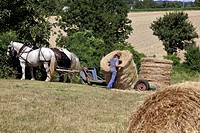 COLLECTING HAY BALES, WORKING IN THE FIELDS WITH A HARNESSED TEAM OF PERCHERON HORSES, JEAN_LOUIS LEFRANCOIS´ FARM, CONDEAU, PERCHE, ORNE 61, FRANCE