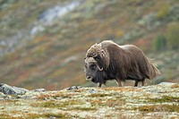 Muskox (Ovibos moschatus), Bull, Autumn, Fall, Dovrefjell National Park, Norway, Europe