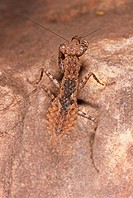 Stone mantis , West Africa Burkina Faso                                                                                                               ...