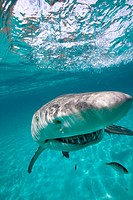 Grinning Lemon Shark