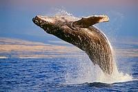 Humpback Whale, breaching at sunset, Megaptera novaeangliae, Hawaii, Pacific Ocean