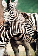 closeup of two zebras. One with neck and head resting on the other´s neck