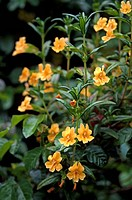 SANTA LUCIA STICKY MONKEY FLOWER Mimulus bifidus _ CALIFORNIA