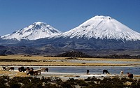 ALPACAS graze below the PAYACHATAS twins, PAMERAPE L & PARINACOTA R, 20,800 FT. _ LAUCA NATIONAL PARK, CHILE