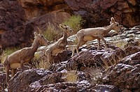 A herd of desert BIG HORN SHEEP Ovis canadensis with mothers and babies below Hermit Rapid _ GRAND CANYON, ARIZONA