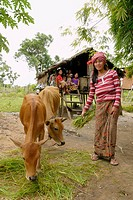 CAMBODIA. Lib Kham 23 with her two cows. She is a beneficiary of a DPA animal husbandry project, Ban Bung village, Stung Treng district