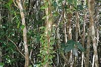 Twigs, Leaves, São Paulo, Brazil