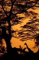 Africa, Kenya. Giraffe at sunset