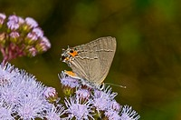 Gray hairstreak on blue Ageratum flowers