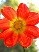 Dahlia flower