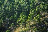 Maritime Pines (Pinus pinaster), Calares del Río Mundo y de la Sima Natural Park, Albacete province, Castilla-La Mancha, Spain