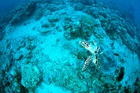 A Hawksbill Turtle swimming underwater, Maldives