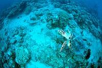 A Hawksbill Turtle swimming underwater, Maldives