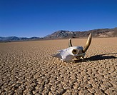 USA, California, Death Valley, cow skull on cracked earth