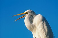 USA, Florida, Everglades, Great egret casmerodius albus