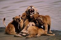 Africa, Tanzania, Ngorongoro, lions