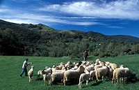 Italy, Tuscany, sheep flock