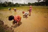 women working in the rice fields of Kep, Cambodia, Southeast Asia