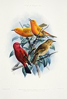 Hawaiian Vintage painting of Laysan Honeycreeper or Apapane Himatione sanguinea freethi.