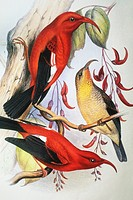 c. 1893_1900 Frederick Frohawk, Native Hawaiian Birds, Vintage painting of Red Hawaiian Honeycreeper or I´iwi Polena Vestiaria coccinea.