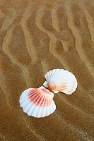 shell on sandy beach, Sutherland, Scotland