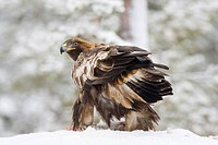 Golden Eagle Aquila chrysaetos in winter
