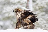 Golden Eagle Aquila chrysaetos in winter