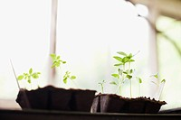 Seedlings growing in plastic trays in window